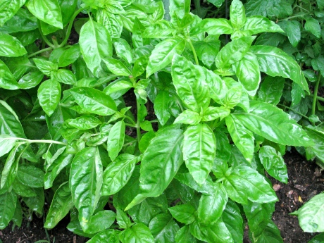The Magic of Basil
